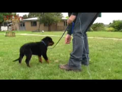 Training Rottweiler Puppy To Come And Walk On Lead The Rottweilers With Images Dog Training School Dog Training Near Me Training Your Dog