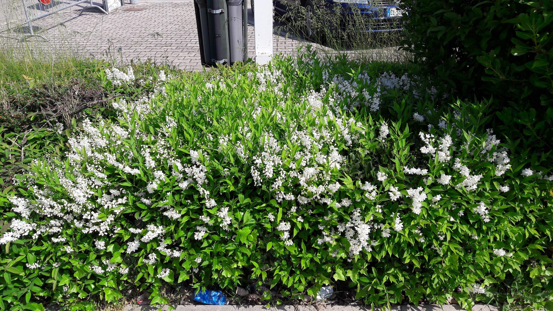 Piante Basse Da Aiuola pin su plants: bushes, trees