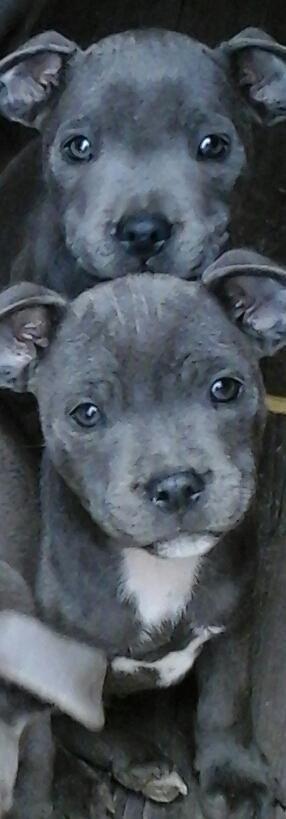Love K C Reg Blue Staffordshire Bull Terriers 3 Pitbull Terrier Cute Dogs Cute Animals