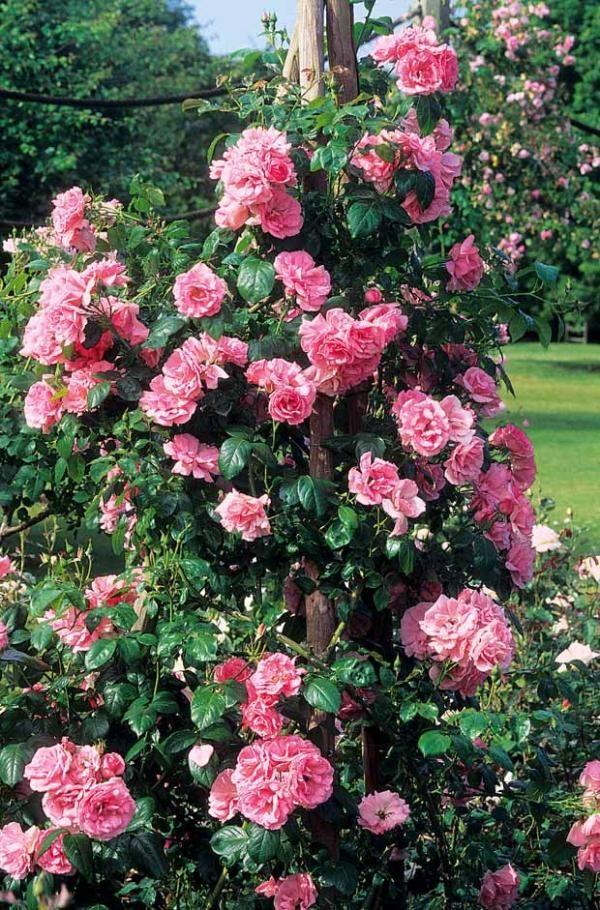 Rosier grimpant 39 jasmina 39 flowers pinterest - Planter un rosier grimpant ...