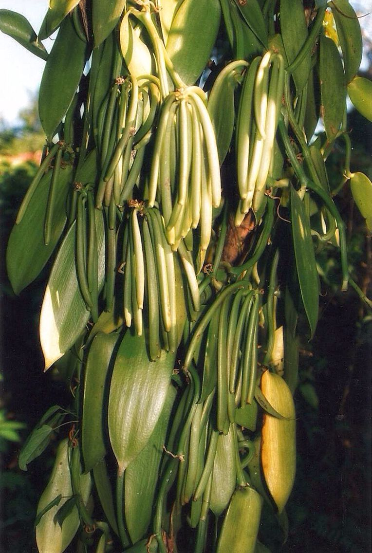 Vanilla beans Madagascar