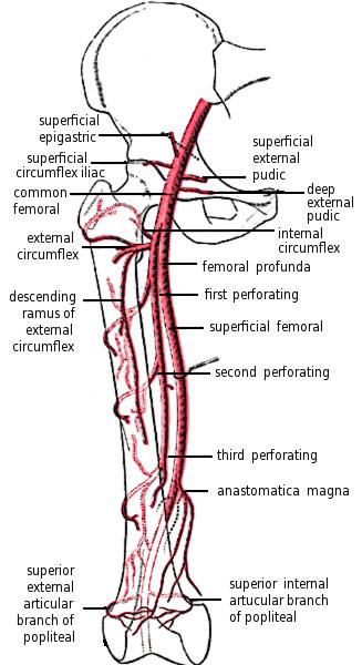 circumflex artery - Google Search   vascular   Pinterest   Medical ...