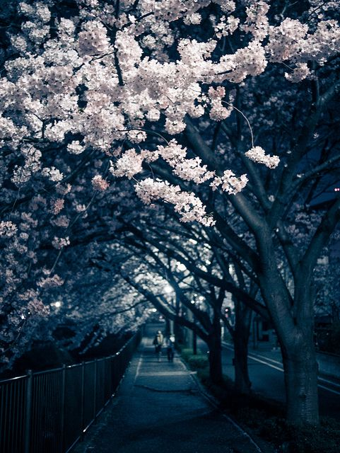 ourbedtimedreams:  Tomorrow, the cherry blossoms will fall due to the rain by taketan (Takeshi Tanaka) on Flickr.