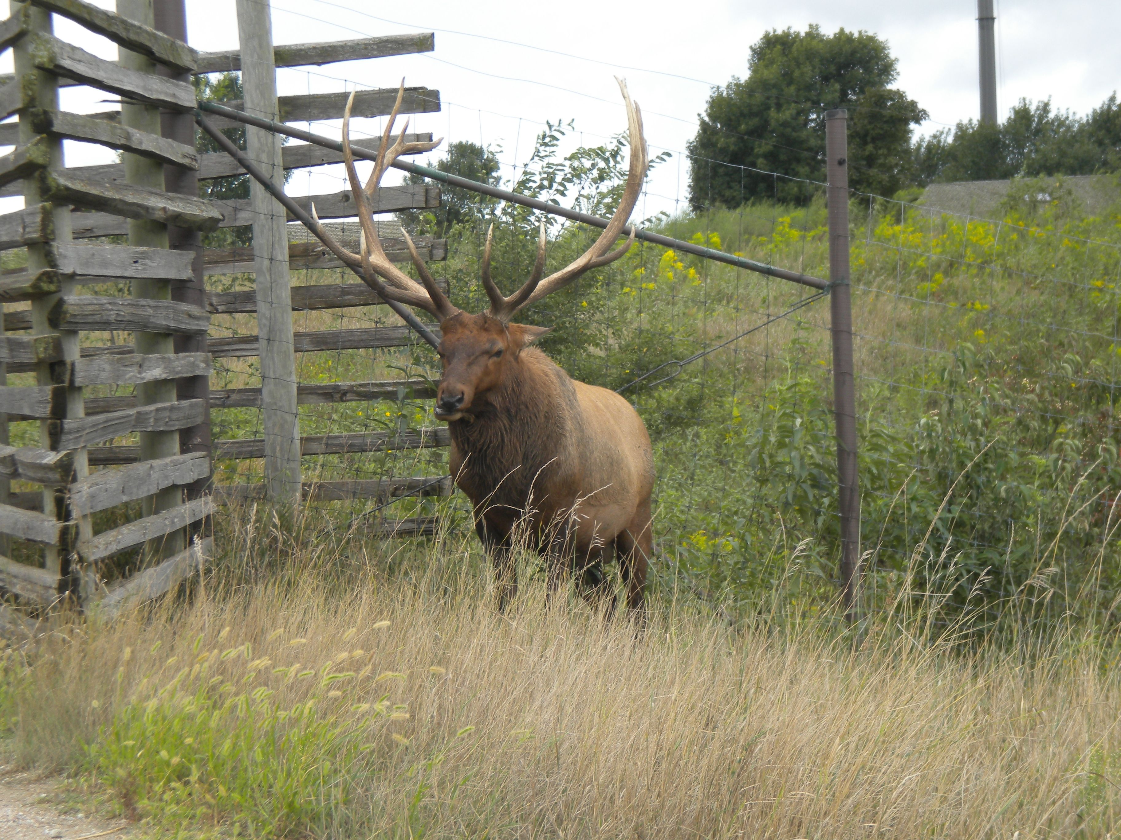 cool elk posing on our leaving the park