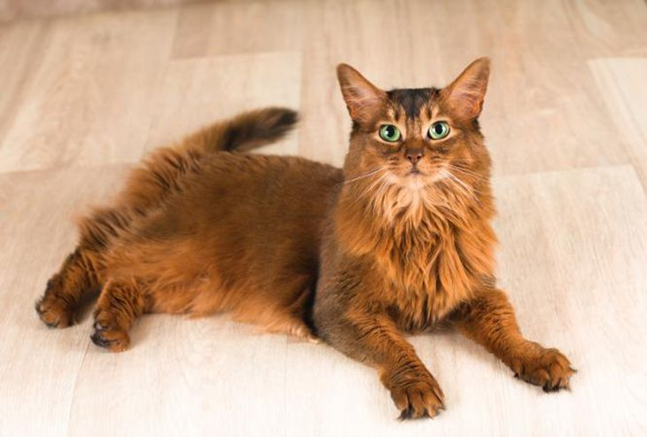 Top 30 Most Dangerous Household Cat Breeds Abyssinian Cats Cat