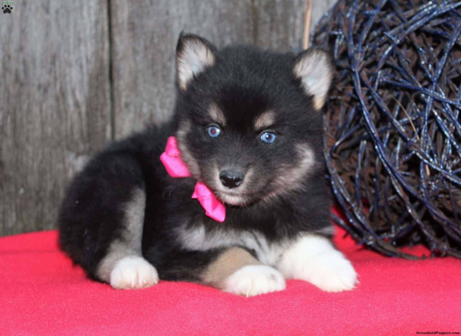 Wolf Hybrid Puppies For Sale In Ohio - Lily pomsky puppy 1 95