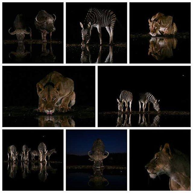 2017 Exclusive @icapturephotosafaris photosafari in Zimanga, KwaZulu-Natal, South Africa, led by @hawk.photography #wildographydudette @annamartkruger. 21-26 June 2017 For full itinerary visit www.icapturephotosafaris.com #WildographyandSafaris