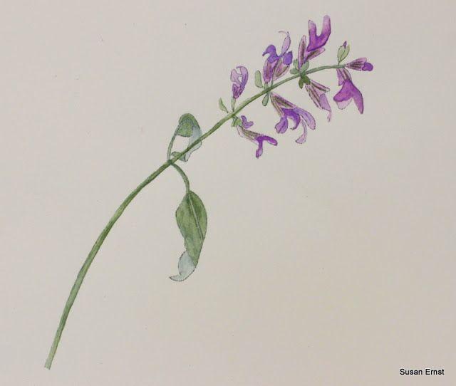 Salvia officinalis drawing