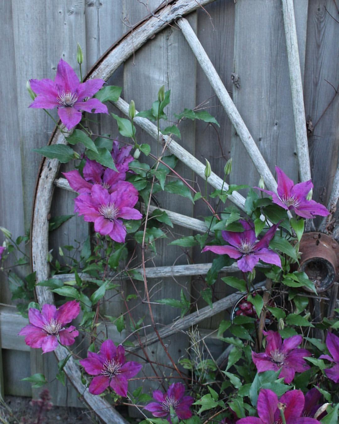 "Photo of HM Photography på Instagram: ""06/04/17 -. . . . . #natur #lasalle #canada #getoutsise #purple #purpleblomst #naturfotografering # blomster # bakgård # HMphotography… """