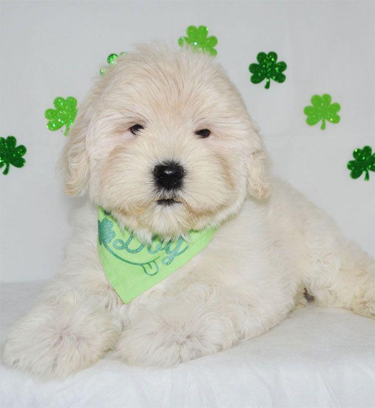 Park Art My WordPress Blog_Golden Retriever Puppies For Sale In Orlando Florida