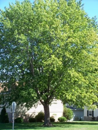 Silver Maple Beautiful Large Tree Very Tolerant Of Most