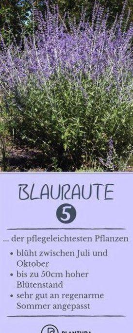 Blauraute Platz 5 Der Pflegeleichtesten Pflanzen Die Blauraute Ist Perfekt An Trockene Sommer Angepasst D In 2020 Pflegeleichte Pflanzen Pflanzen Blumen Fur Garten