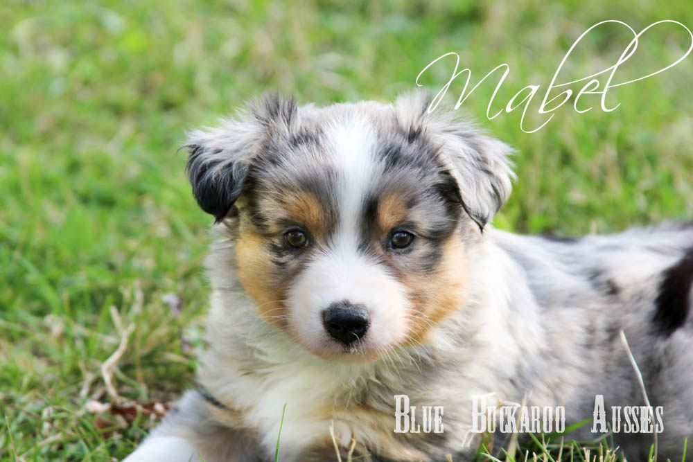 Blue Merle With Copper And White Trim Www Buckarooaussies Com Aussie Puppies Mini Aussie Puppy Puppies