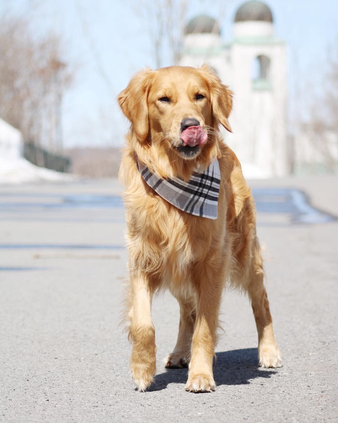 Golden Boy Jack Golden Retriever Funny Golden Puppies Golden
