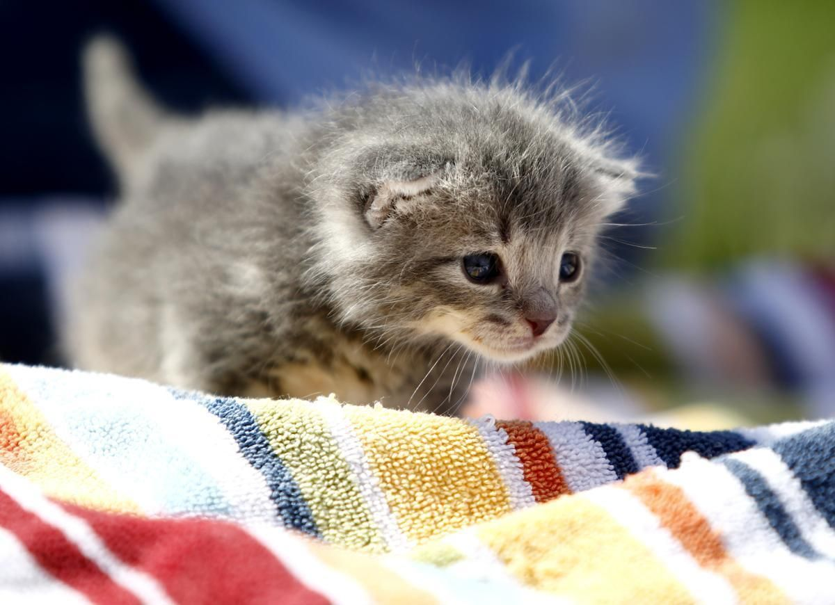 A twoweek old kitten available for adoption walked on a