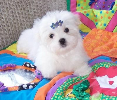 Oklahoma Maltese Shelters English Maltese Puppies For