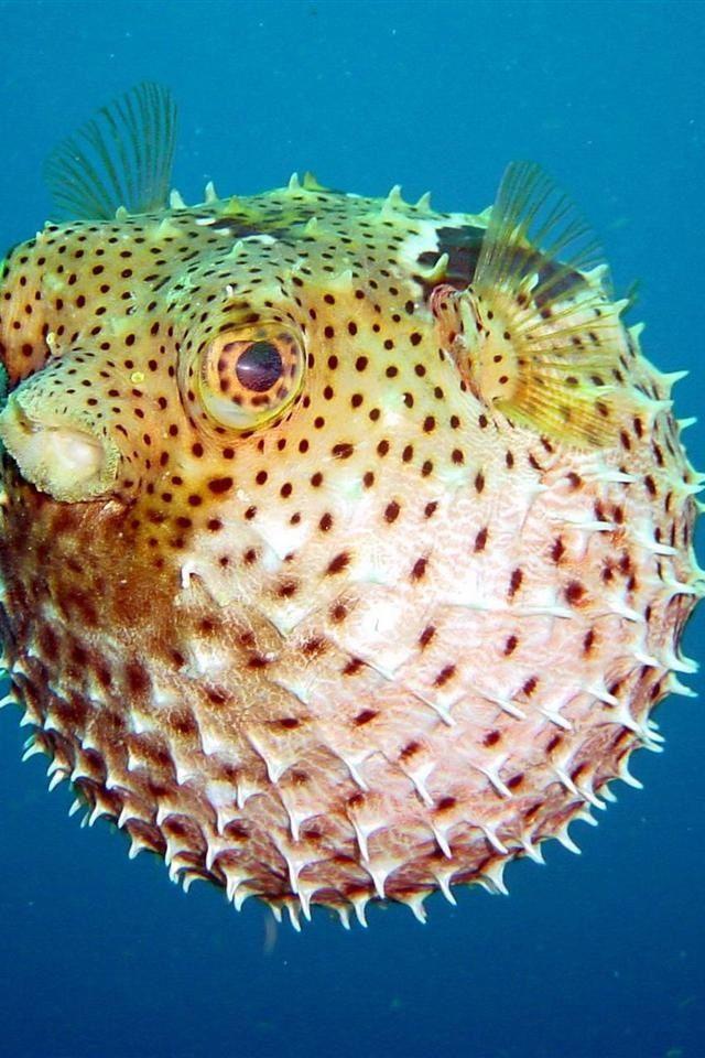 Puffer Fish Deadly Animals Venomous Animals Ocean Creatures