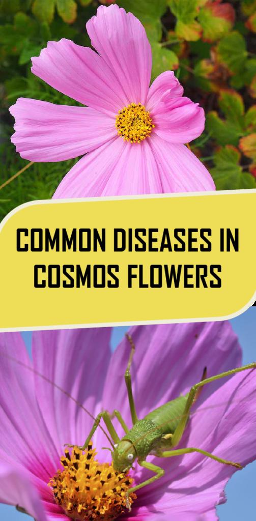 Common Diseases In Cosmos Flowers Cosmos Flowers Winter Plants Flowers