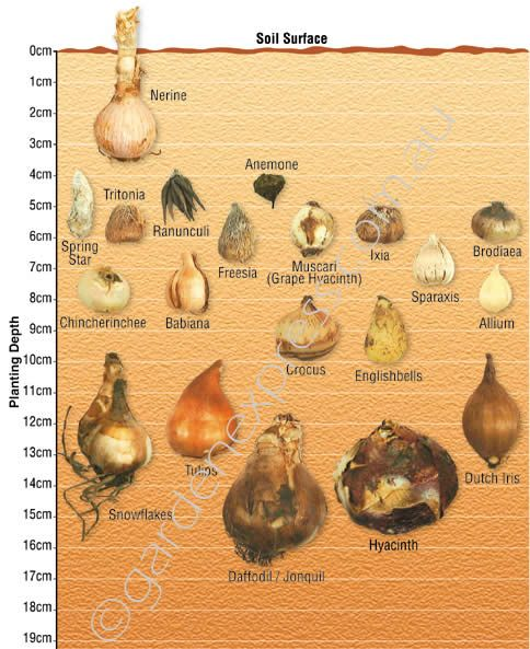 Garden Express Bulb Identification and Bulb Planting Depth Guide
