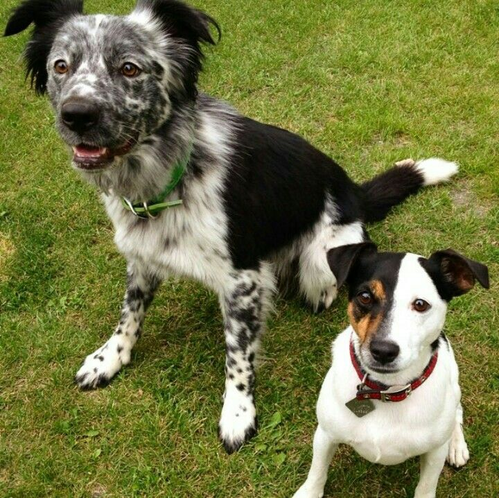 Blue Heeler Border Collie Mix On The Left Jack Russell Terrier