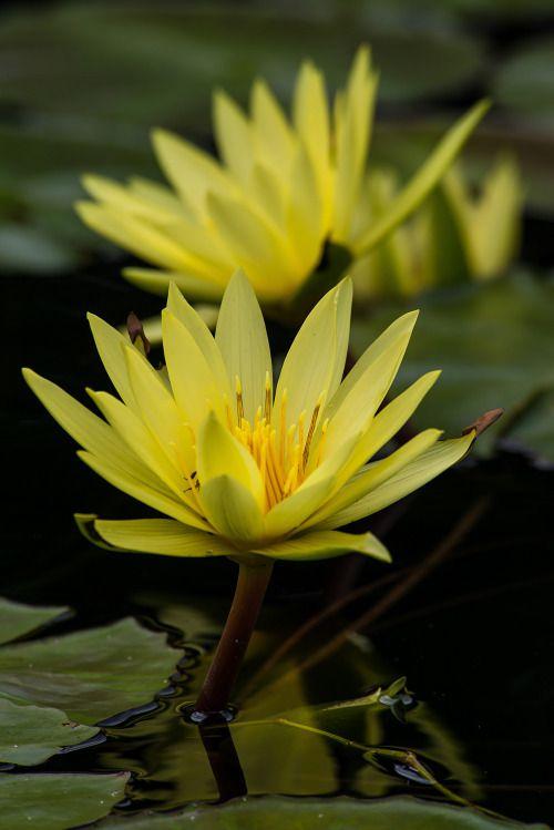 Fiori Gialli Acquatici.Lotus Jaune Ninfee Fiori Colorati Fiori