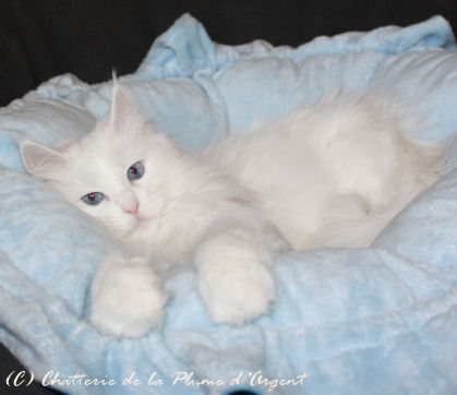 Slippy Turkish Angora White Female With Blue Eyes Baby Animals