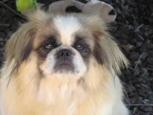 Madeline Is An Adoptable Pekingese Dog In St Louis Mo Madeline Has Just Arrived So We Are Still Getting To Know Her Mad Pekingese Dogs Dog Adoption Puppies