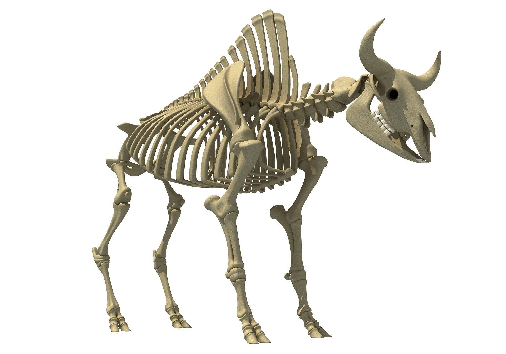Bison Skeleton | Bison Bulls Anatomy | Skeleton, Animal