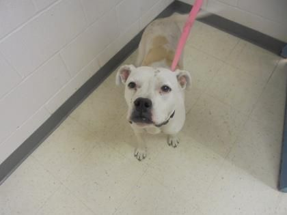 BullBoxer dog for Adoption in Gulfport, MS. ADN517946 on