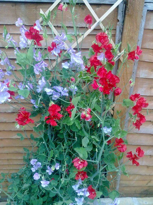 Sweetpea's growing on a small trellis inside a pot. Perfect for placing against a wall.