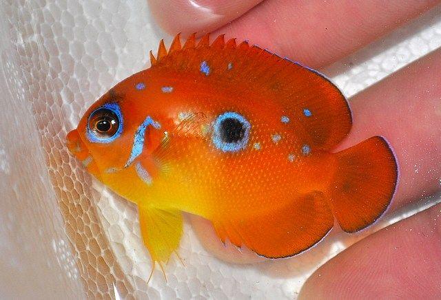 Centropyge Flavissima Saltwater Fish Tanks Marine Fish Salt Water Fish