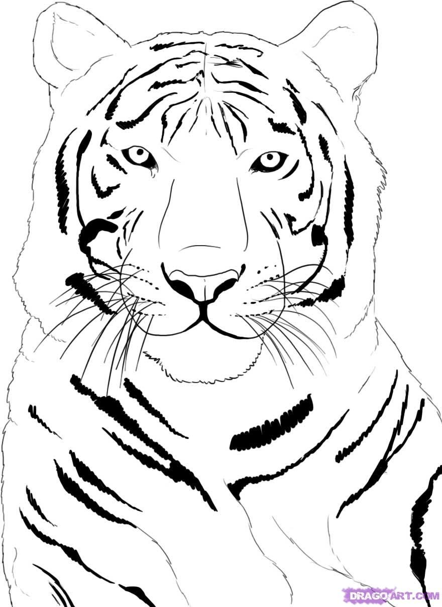 How To Draw A White Tiger Step 4 Dibujos De Animales Tigre Para
