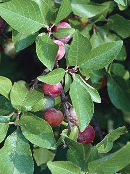 Prunus Maritima Specialty At Cooksgarden Com Fruit Plants Prunus Organic Gardening Magazine