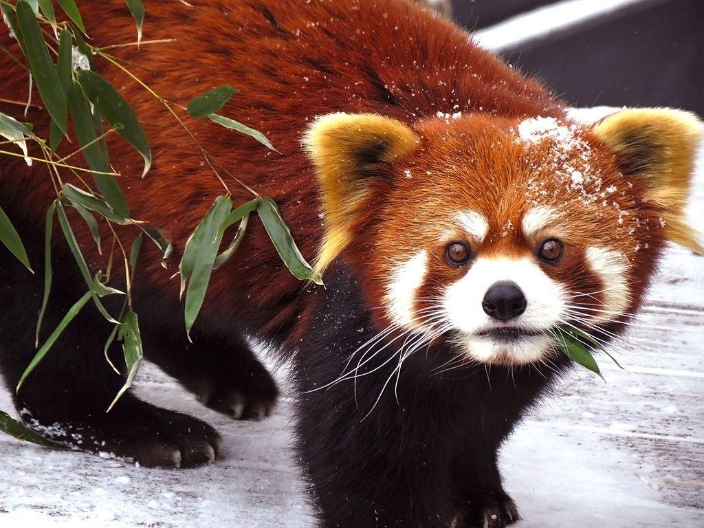 Download Red Pandas Wallpaper  Background