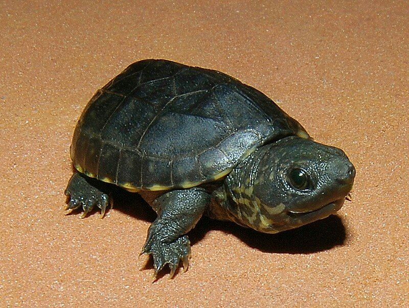 Common Musk Turtle Musk Turtle Cute Baby Turtles Pet Turtle