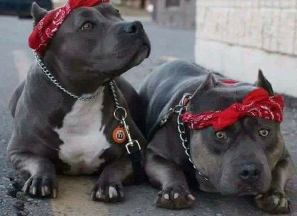 Pin By Marcus Carr On Pitbulls In 2020 Beautiful Creatures Pitbulls Animals