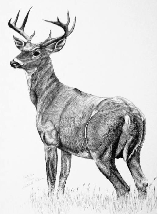 Deer Drawing Deer Illustration Deer Drawing Whitetail Deer