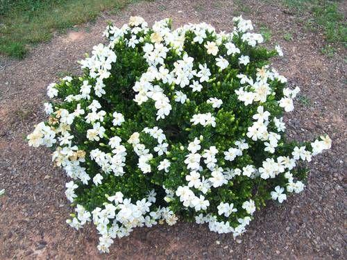 Gardenia Jasminoides Kleim S Hardy Planted 3 Of These In The
