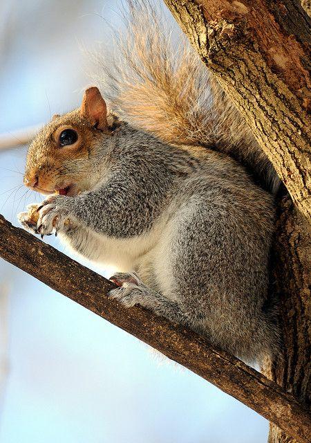 Gray Squirrel Squirrel Pictures Squirrel Baby Squirrel