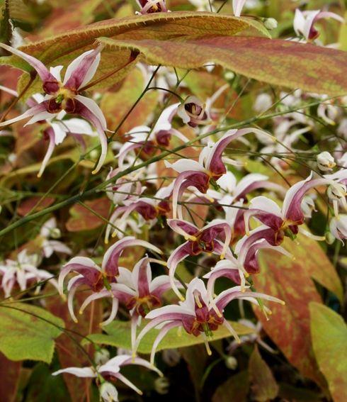 Epimedium X Omeiense Razzleberry Fairy Garden Plants Dry