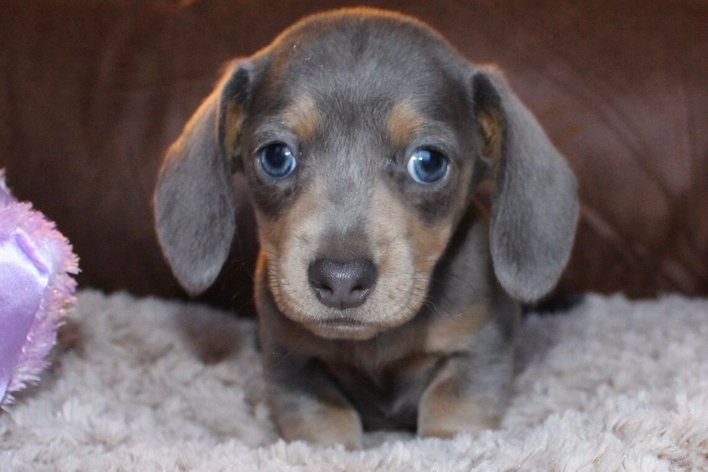 Blue And Tan Shorthair Miniature Dachshund At Muddy River