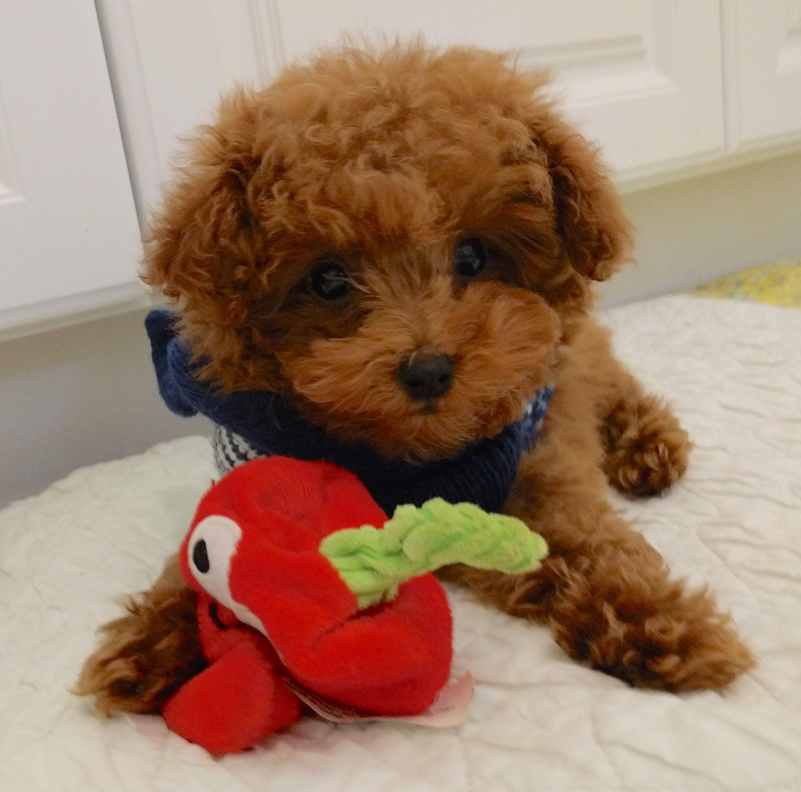 Cinnybun red poodles poodle mix toy poodle