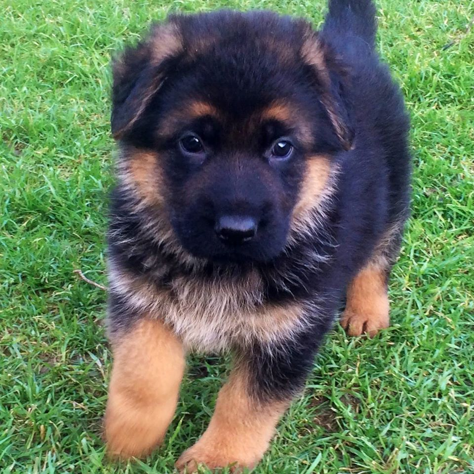 Pin On German Shepherds Puppies For Sale