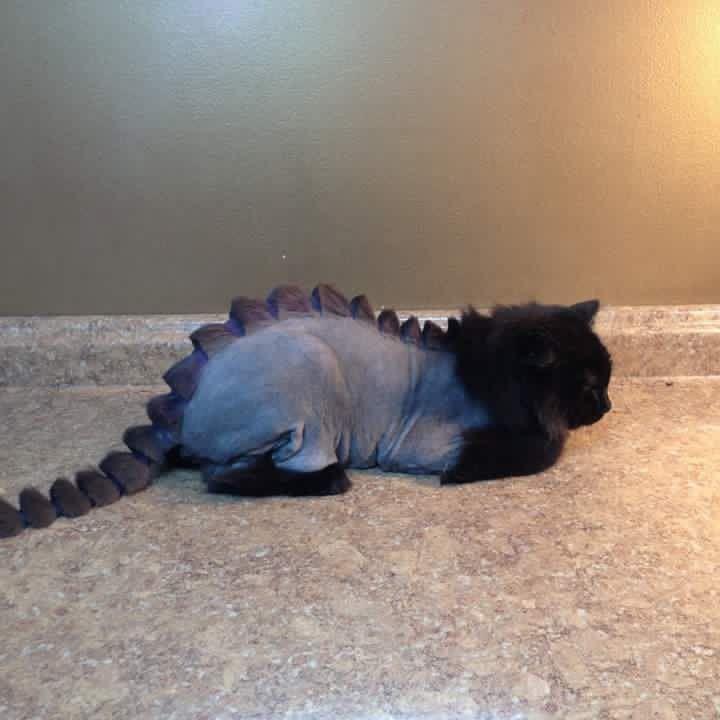 Persian Catasaurus Cat Haircut Cat Grooming Cats