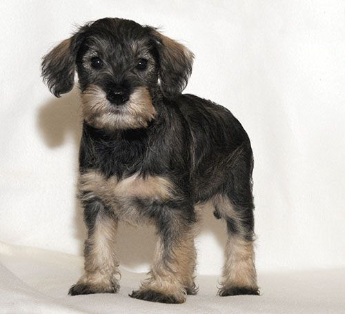 Litter of 5 Schnoodle (Miniature) puppies for sale in