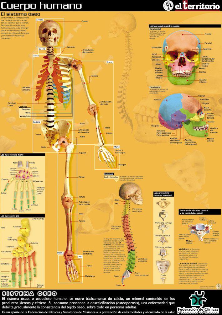 Cuerpo humano - El sistema óseo | Cuerpo humano | Pinterest | Cuerpo ...
