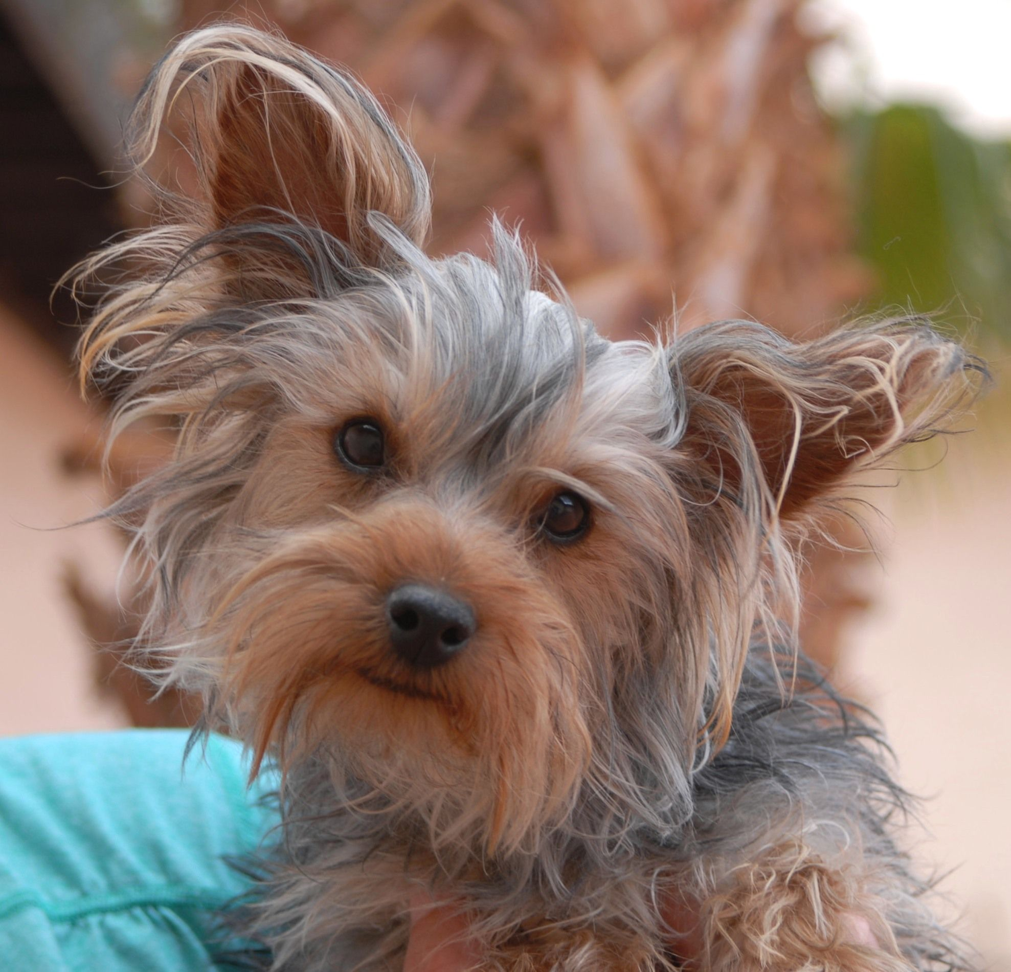 Peter, a snuggly junior puppy, debuts for adoption today