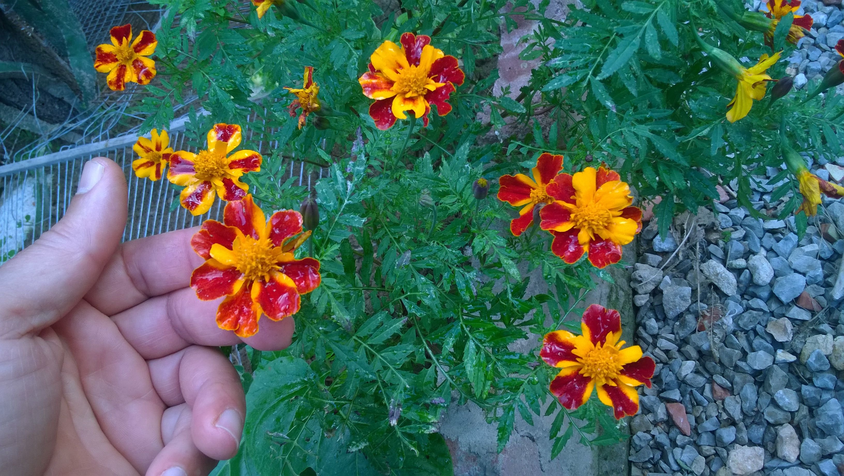 How long to grow marigolds from seeds