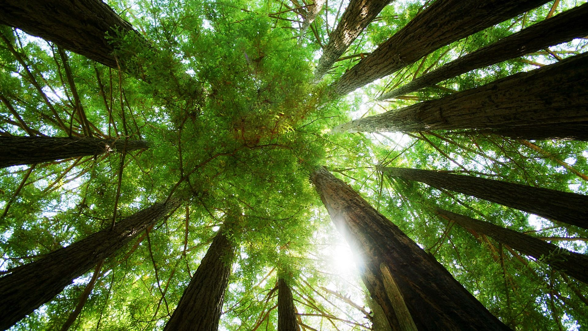 """Ring of Redwoods  """"The substance of the winds is too thin for human eyes,   their written language is too difficult for human minds, and   their spoken language mostly too faint for the ears.""""   - John Muir"""