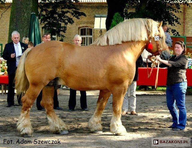 Polish Coldblood (Sztumski type) - stallion Talon